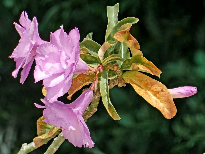 Цветки Adenium стоковое изображение rf