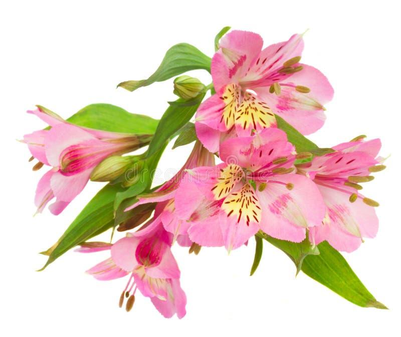 Download Цветки Alstroemeria стоковое фото. изображение насчитывающей душисто - 41655780