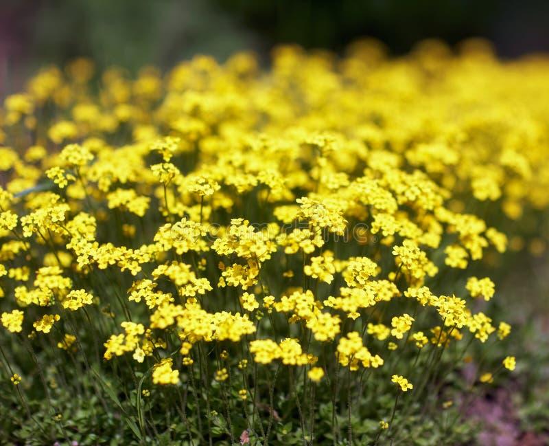 Цветки Alyssum стоковое фото rf