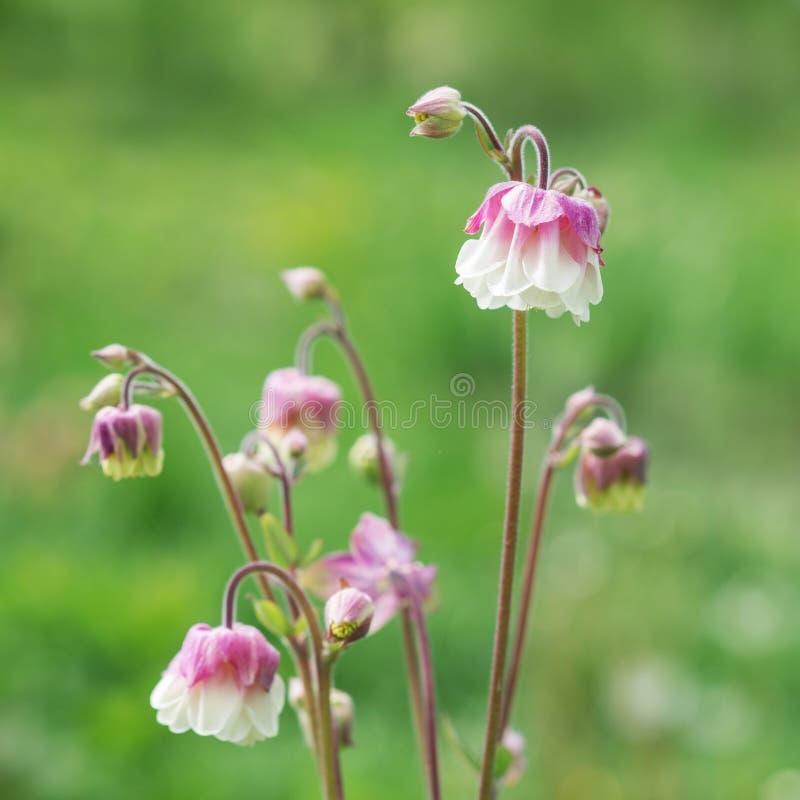 Цветки Aquilegia в саде стоковое изображение