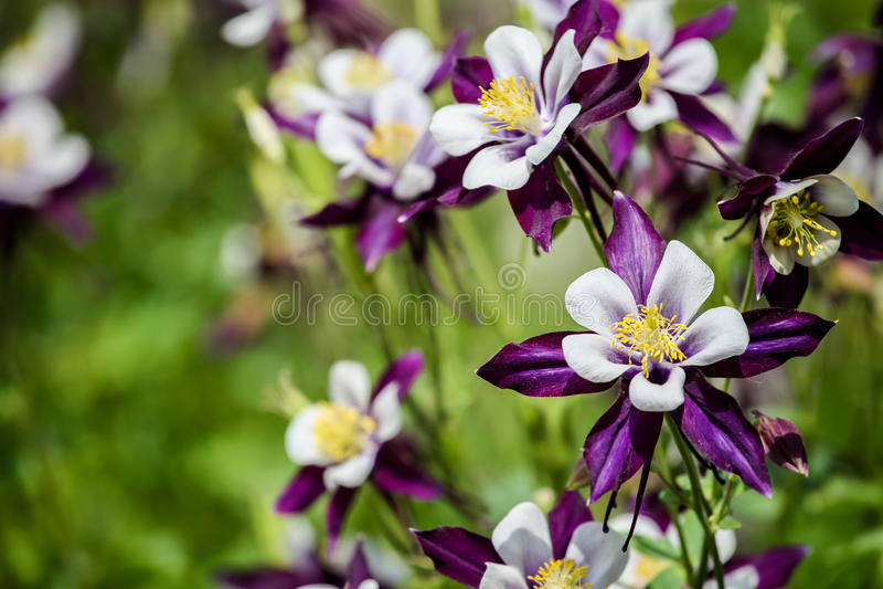 Цветки Aquilegia стоковое фото