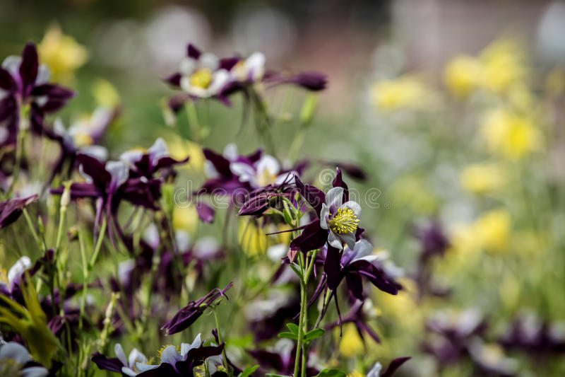 Цветки Aquilegia стоковая фотография