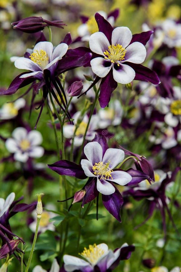 Цветки Aquilegia стоковое фото rf
