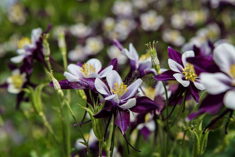 Цветки Aquilegia стоковые фото