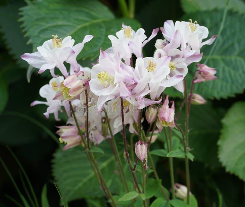 Цветки Aquilegia vulgaris стоковое изображение rf
