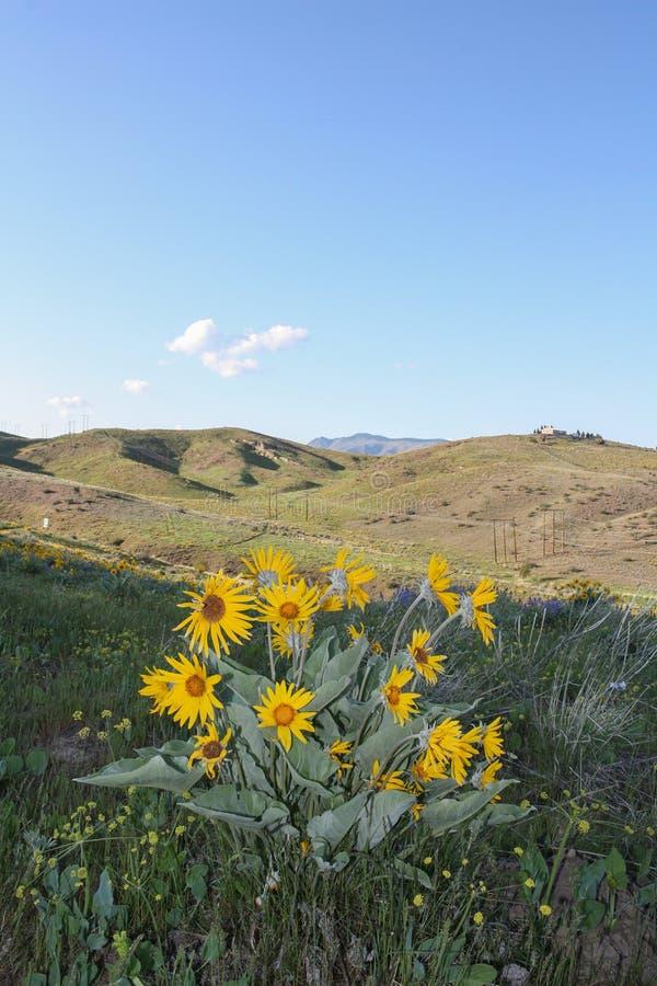 Цветки Arrowleaf Balsamroot на мудрых холмах отстают в Wenatchee стоковое изображение rf