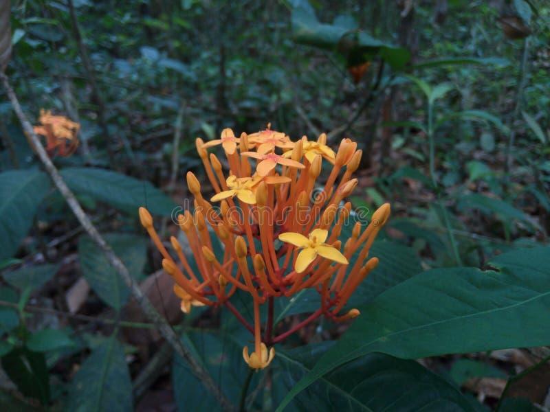 Цветки Asoka стоковая фотография