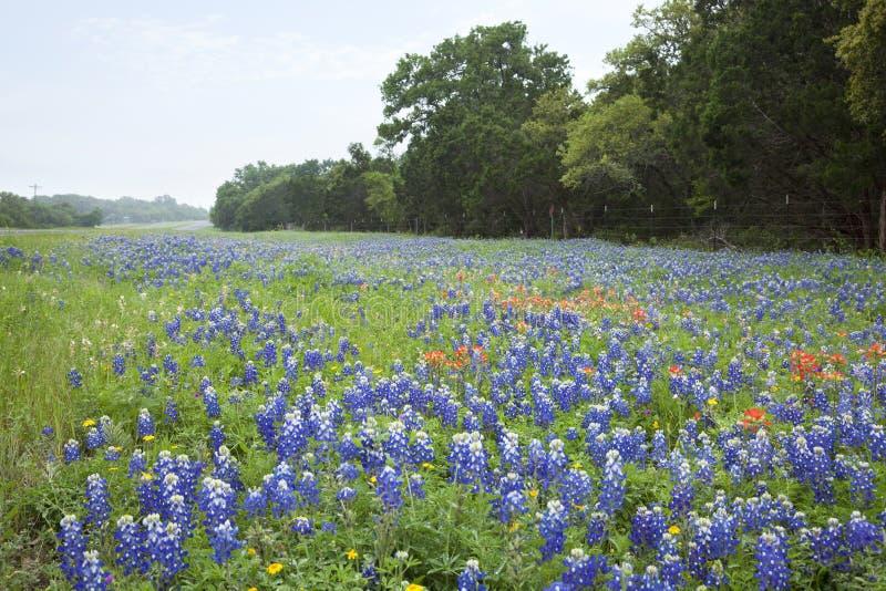 Цветки Bluebonnets и индийского Paintbrush вдоль холма Техаса подсчитывают стоковое фото