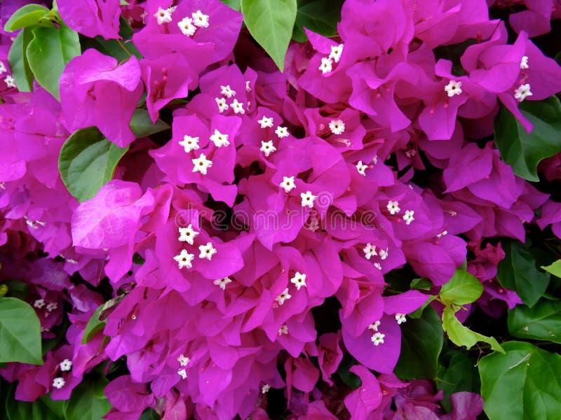 Цветки Bouganvillea в Гаваи стоковая фотография rf