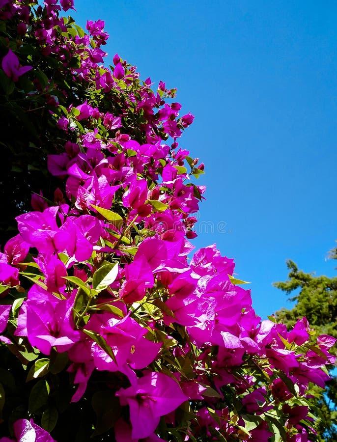 Цветки Bouganvillea принятые на взгляд захода солнца нижний стоковое фото