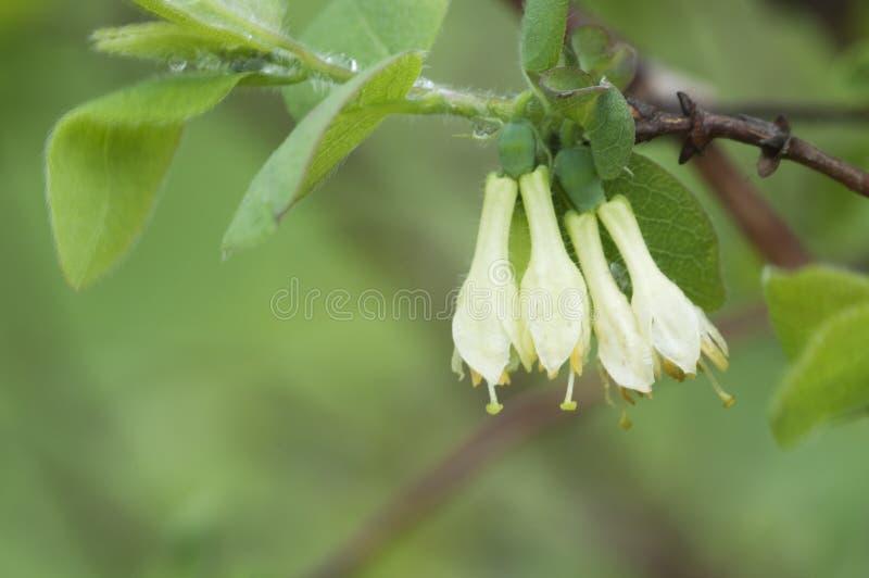 Цветки caerulea Lonicera стоковые фото