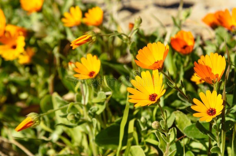 Цветки Calendula ноготк стоковая фотография rf