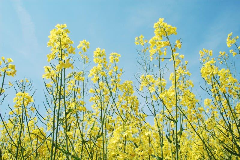 цветки canola стоковая фотография