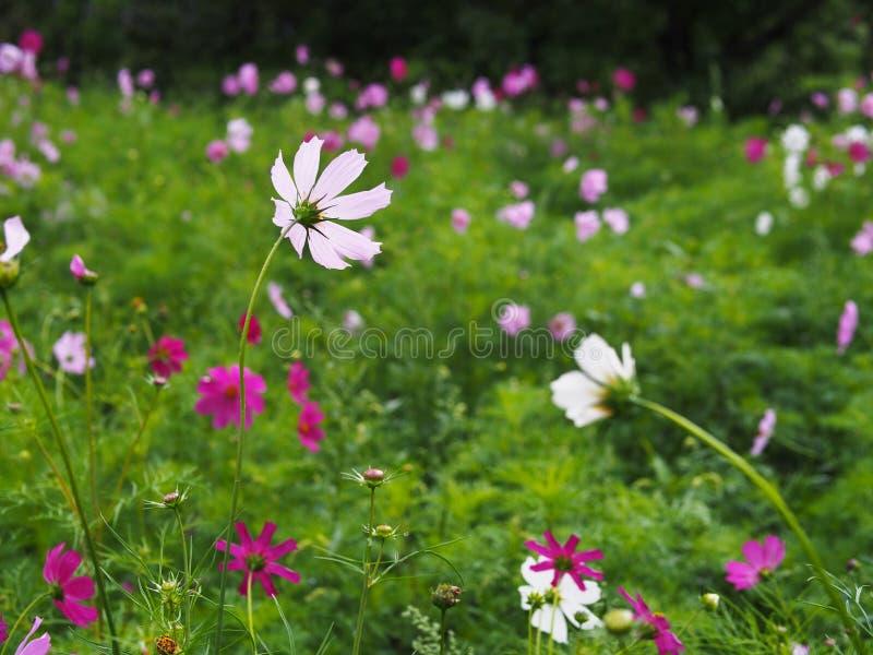 Цветки Cav космоса задней стороны красочные зацветают с падениями воды стоковое фото