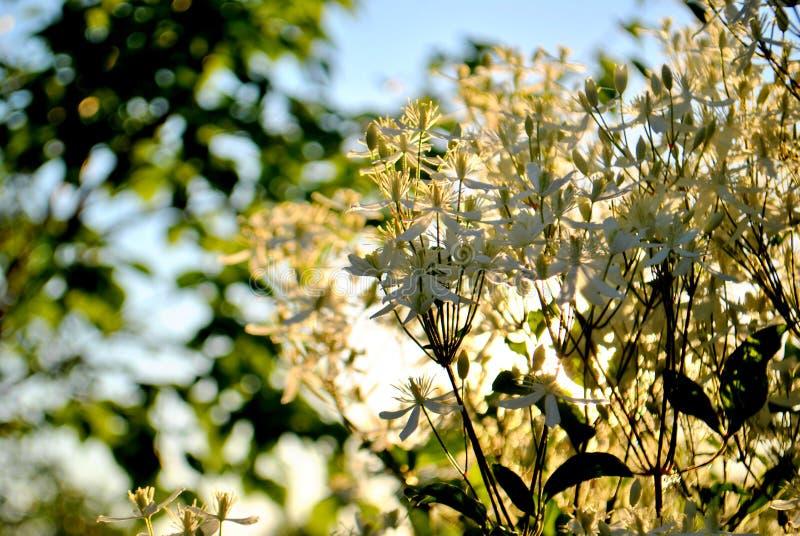 Цветки Clematis небольшие белые на запачканной предпосылке зеленых листьев и голубого неба стоковые изображения rf
