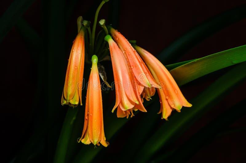 Цветки clivia стоковая фотография