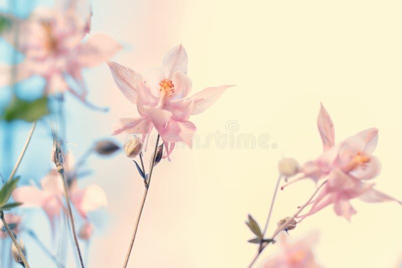 Цветки Columbine стоковое изображение