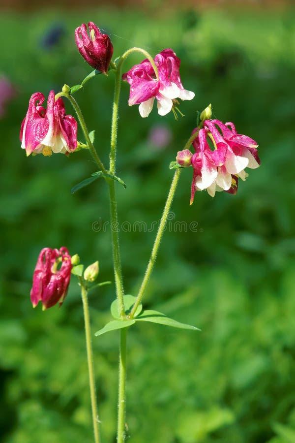Цветки Columbine стоковые изображения