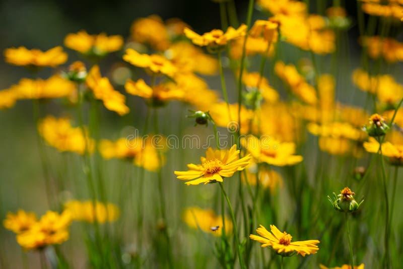 Цветки Coreopsis на день лета солнечный на лужайке Заводы ежегодников Яркое изображение Простые цветки для сада стоковые изображения rf