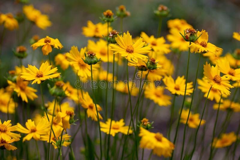 Цветки Coreopsis на день лета солнечный на лужайке Заводы ежегодников Яркое изображение Простые цветки для сада стоковые изображения