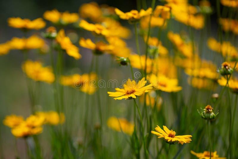 Цветки Coreopsis на день лета солнечный на лужайке Заводы ежегодников Яркое изображение Простые цветки для сада стоковая фотография