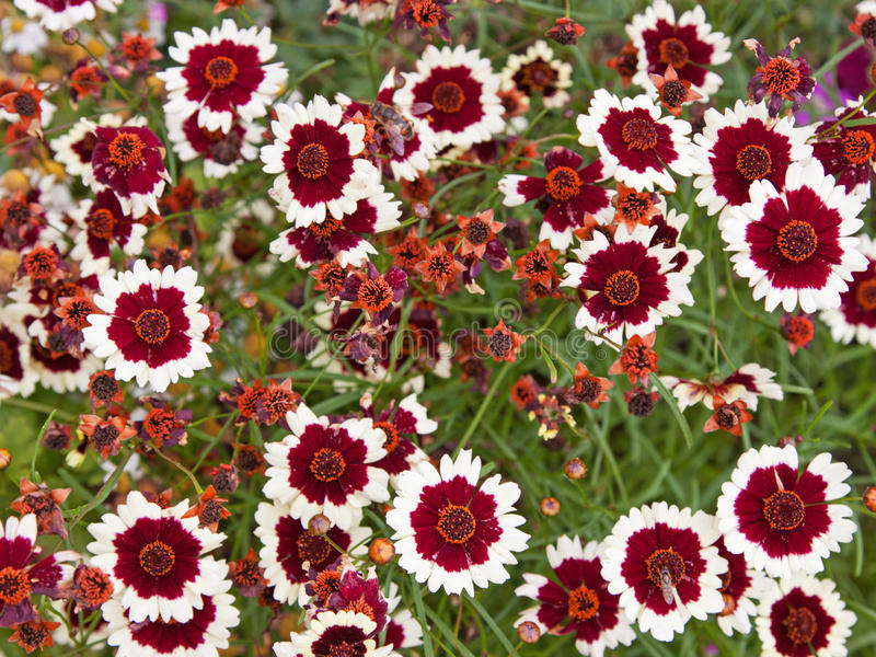 Цветки Coreopsis стоковое фото rf