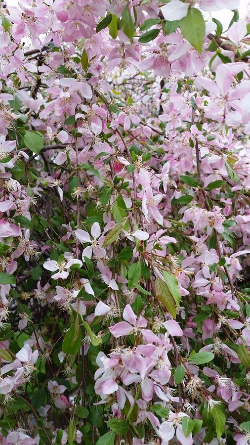 Цветки Crabapple стоковое фото
