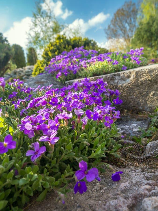 Цветки cultorum Aubrieta стоковое изображение rf
