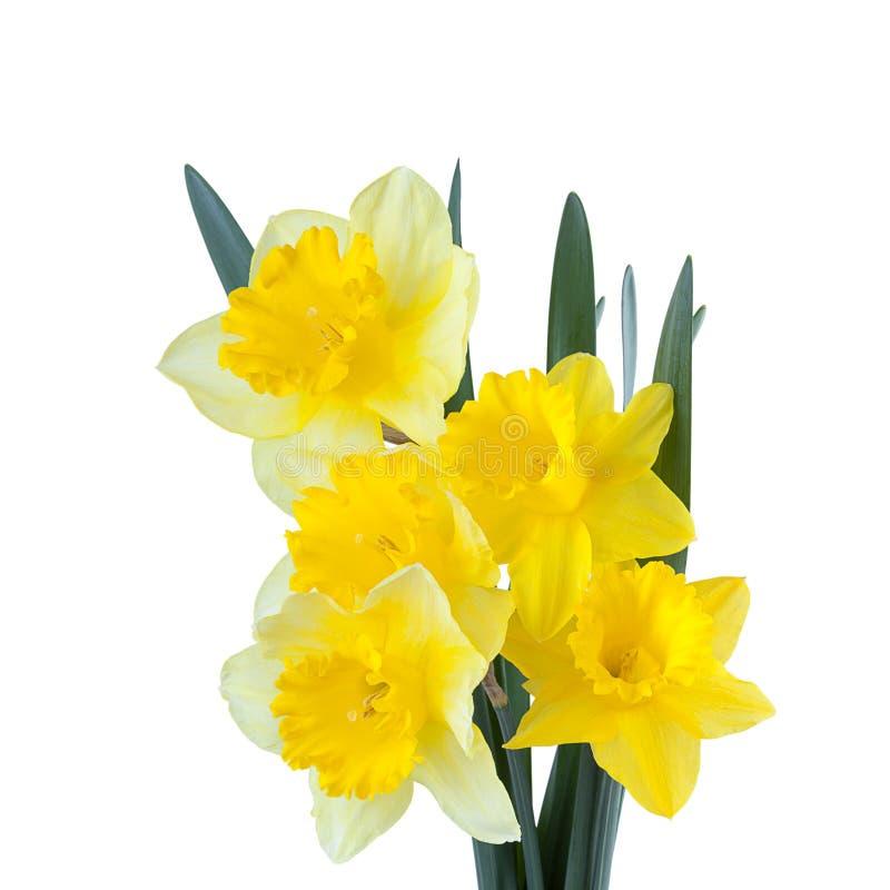 Цветки Daffodil весны изолированные на белизне стоковые изображения