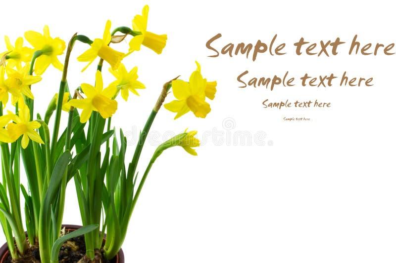цветки daffodil изолировали стоковое фото