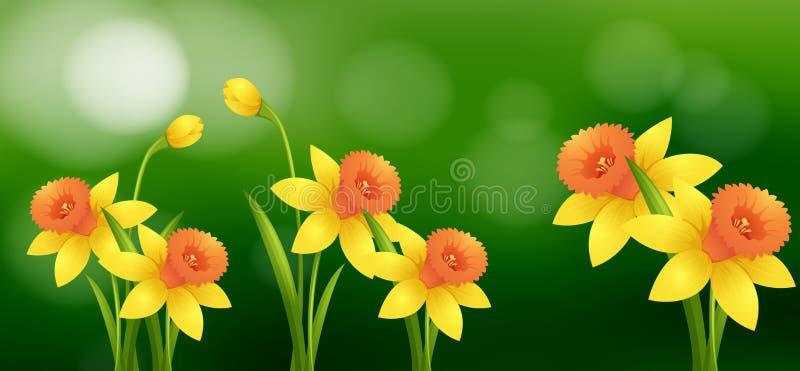 Цветки Daffodil с предпосылкой нерезкости бесплатная иллюстрация
