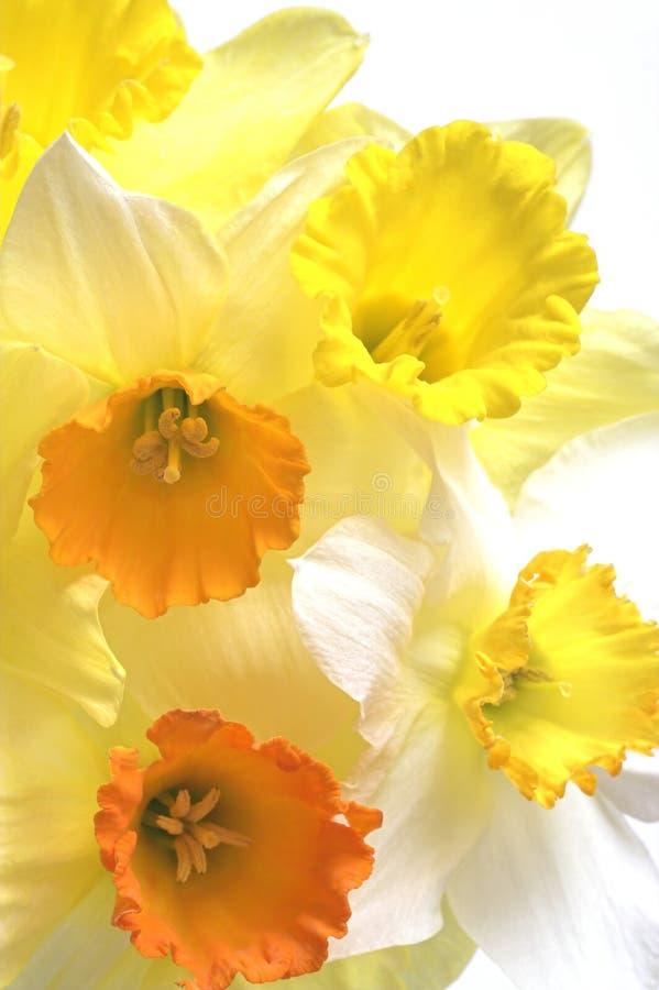 цветки daffodil стоковое фото rf