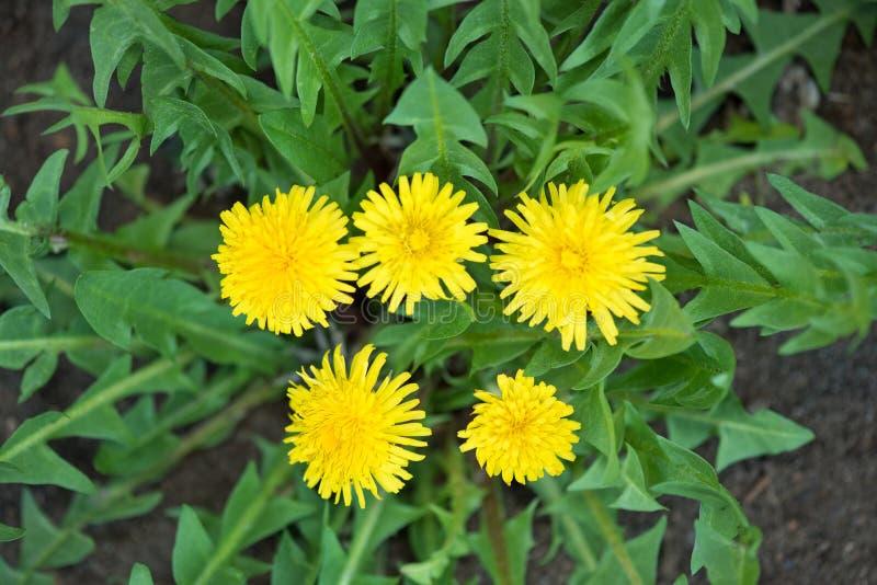 Цветки Dandellion стоковое изображение rf