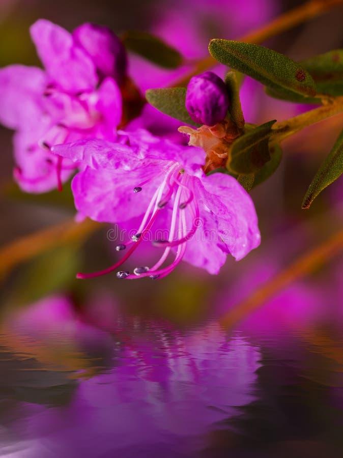 Цветки dauricum рододендрона крупного плана Весна blossoming в Alta стоковое изображение rf