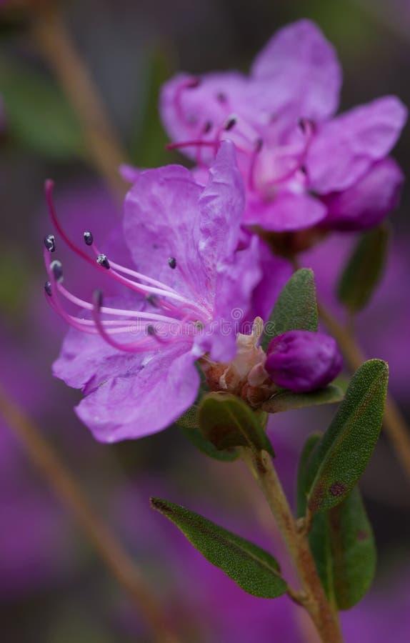 Цветки dauricum рододендрона крупного плана Blossoming весны стоковая фотография