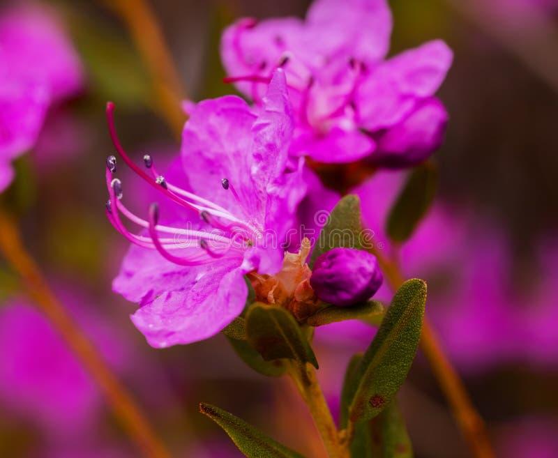 Цветки dauricum рододендрона крупного плана Blossoming весны стоковое изображение rf