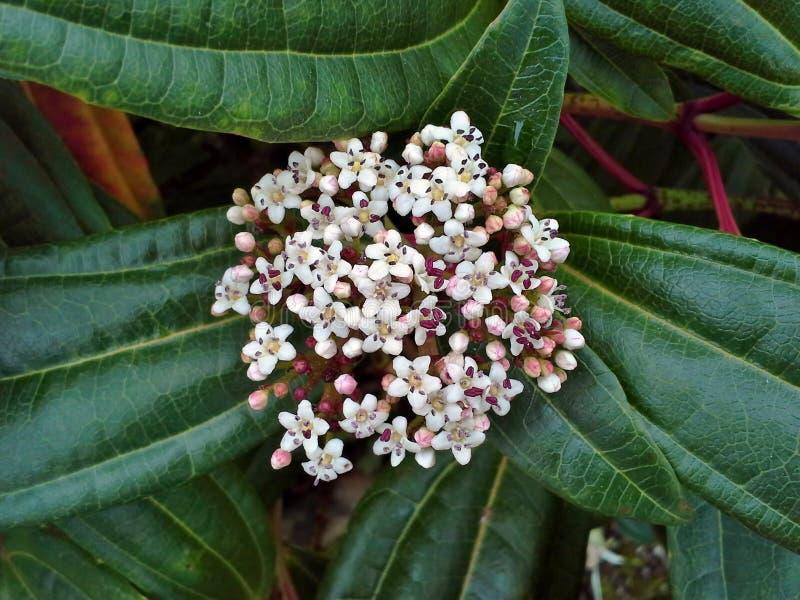 Цветки Davidii калины стоковые фотографии rf