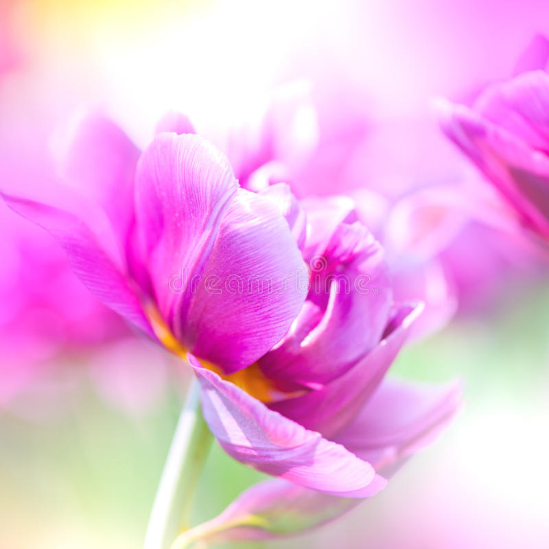 Цветки Defocus красивые фиолетовые. стоковые изображения rf