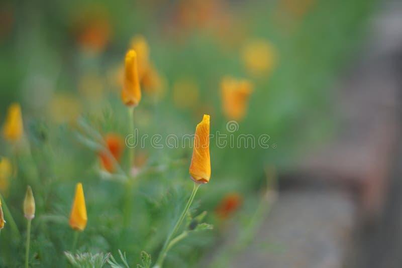 Цветки Escholzia, красивый небольшой оранжевый цветок в саде лета стоковые изображения