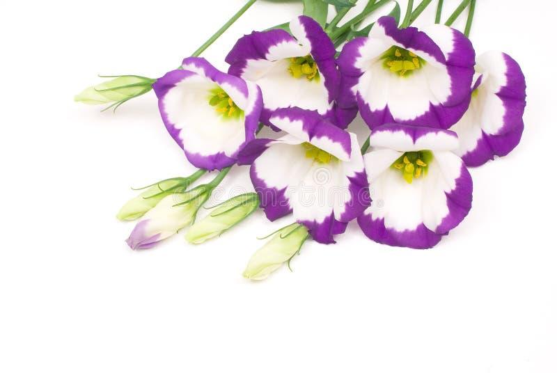 цветки eustoma стоковая фотография