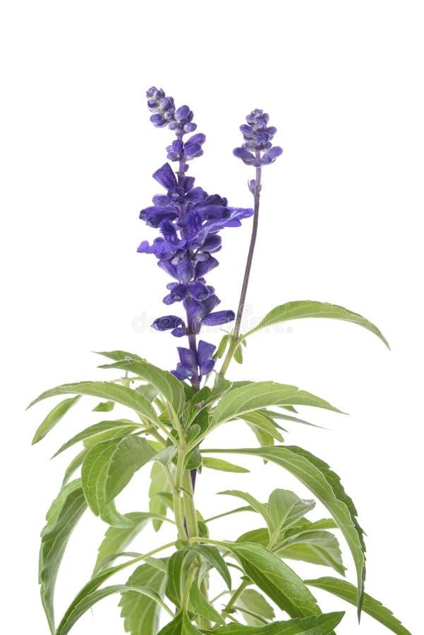 Цветки farinacea Salvia стоковое фото