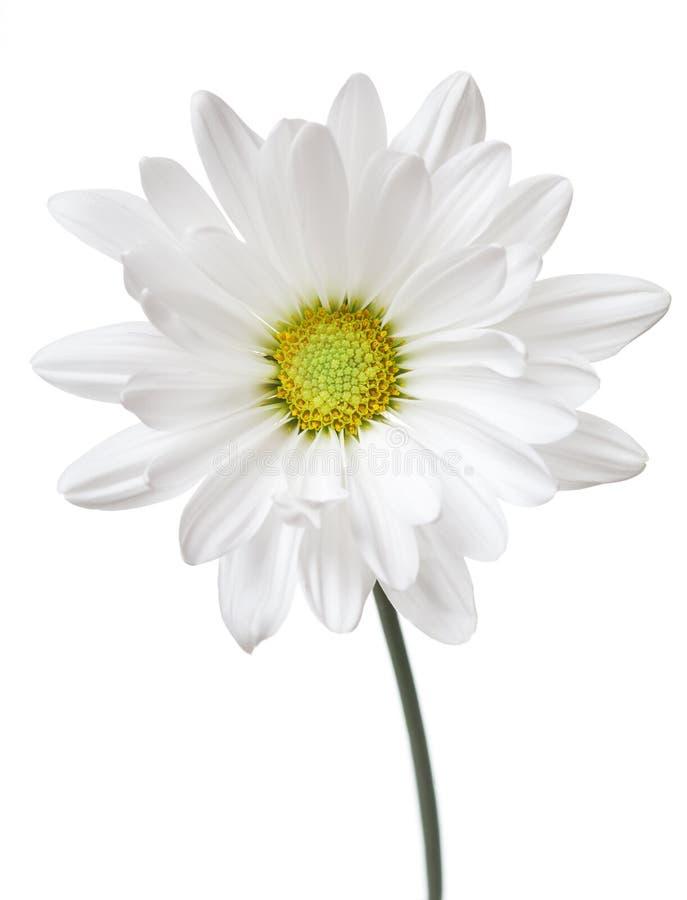 Цветки FlowerDaisies белой маргаритки флористические стоковое изображение rf