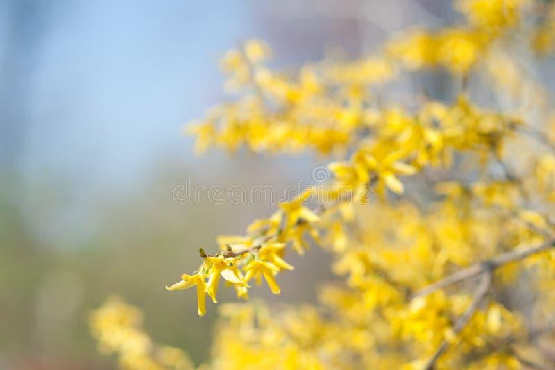 Цветки Forsythia стоковые фотографии rf