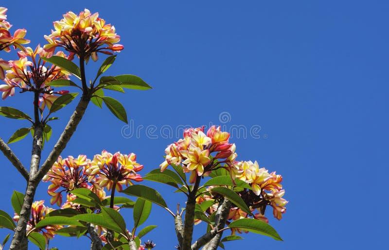 Цветки Frangipani и предпосылка голубого неба стоковое изображение