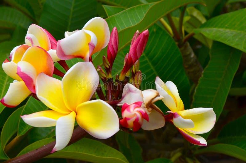 Цветки Frangipani на зеленой ветви дерева Зацветая plumeria в тропическом саде Тенерифе, Канарских островов, Испании стоковые изображения