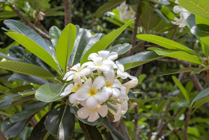 Цветки Frangipani на зеленой ветви дерева Свежие раскрытые бутоны plumeria Тропический крупный план флоры для знамени перемещения стоковые изображения