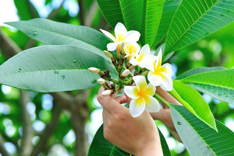 Цветки frangipani рудоразборки стоковое изображение