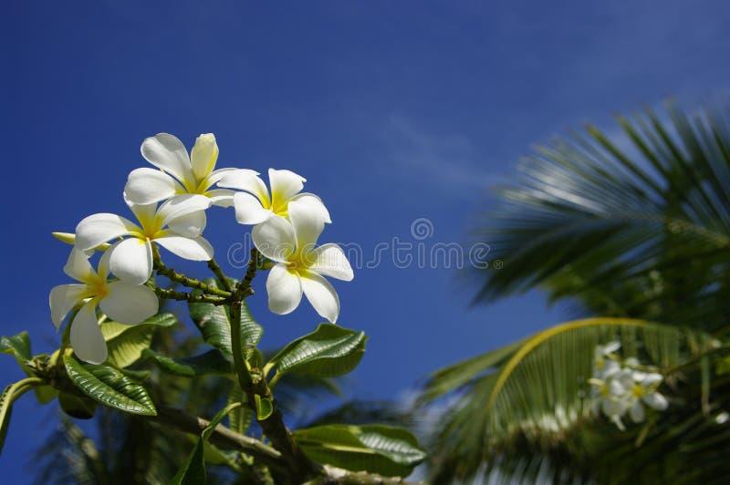 Цветки Frangipani стоковые изображения rf