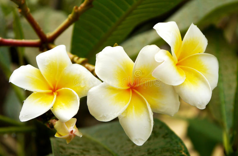 Цветки Frangipani стоковые изображения