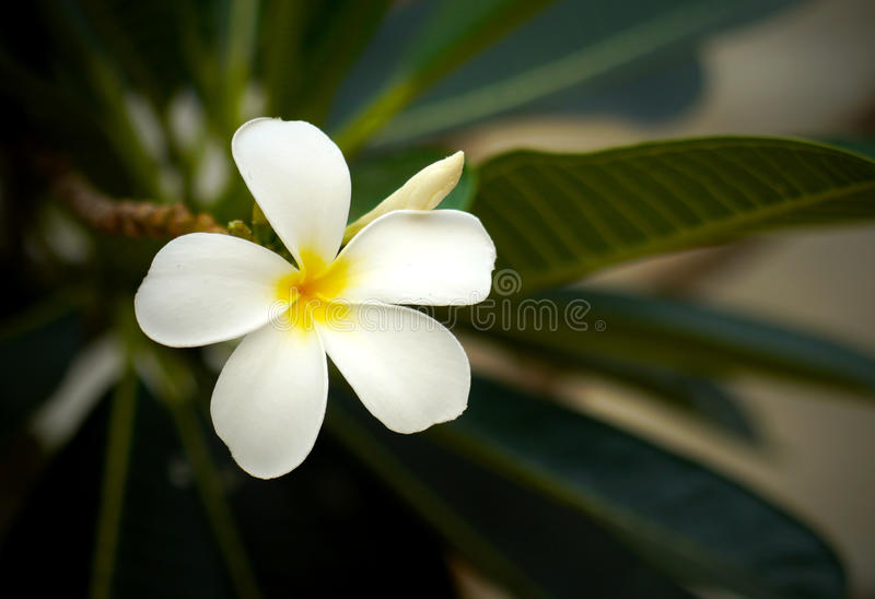 Цветки Frangipani стоковое фото rf